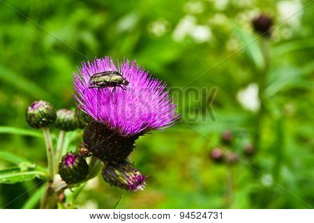 Chafer Beetle On Flower Of  Thistle.