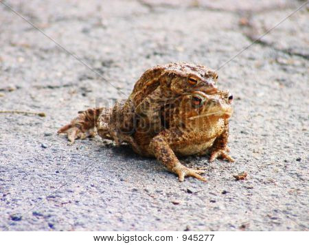 Big Toad Carrying Smaller One
