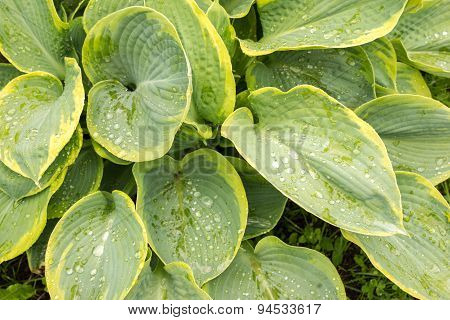 Hosta Leaves After A Rain