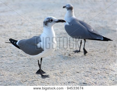 Two Seagulls Walking On The Sand At The Beach In The Evening