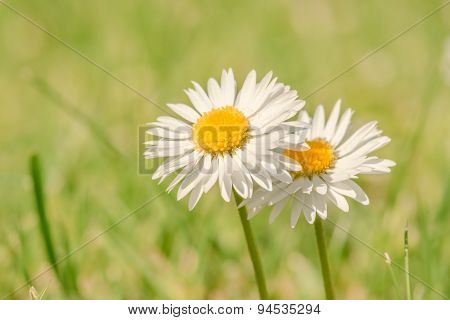 Marguerites On A Green Background