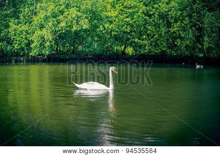 Swan In Green Nature