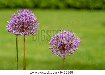 Allium Giganteum In A Garden
