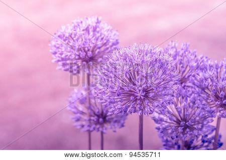 Allium Giganteum In Pink Colors