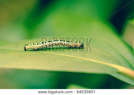 Erannis Defoliaria Caterpillar On A Leaf