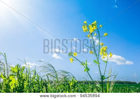 Canola Flower In Green Grass