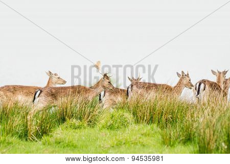 Deer Herd On A Meadow