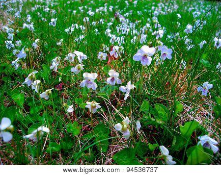 Field of Wild Violets  aka  viola violaceae