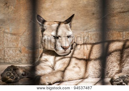 Puma in zoo cage