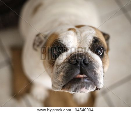 Extreme close up of a bulldog