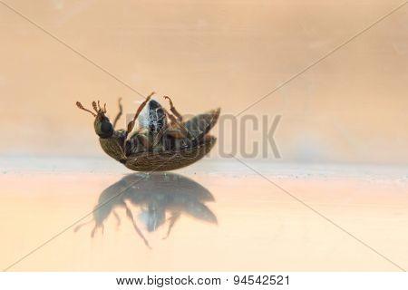 Silken Fungus Beetle