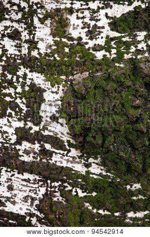 Birch Tree Surface texture