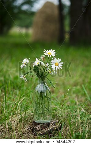Bouquet of wild camomile flowers