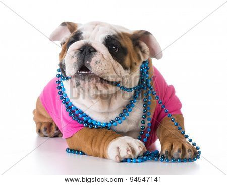 female puppy - bulldog wearing pink shirt and blue necklace on white background