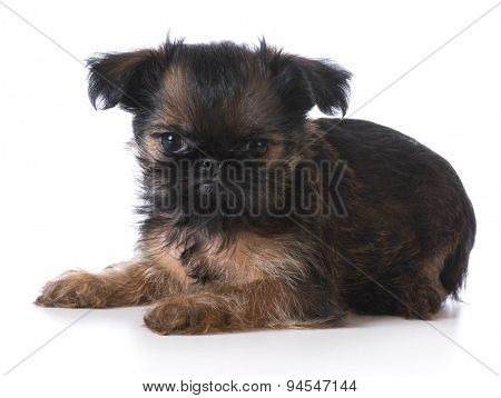 cute puppy - brussels griffon laying down - 8 weeks old