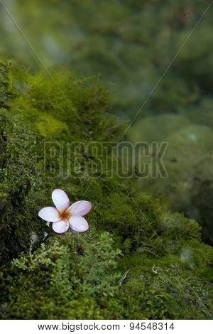 Lichen Flower Water