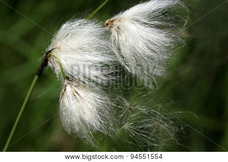 Eriophorum angustifolium or common cotton grass