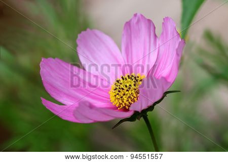 Pink Cosmos flower in the garden