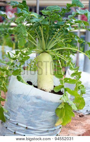 White Radish Plant