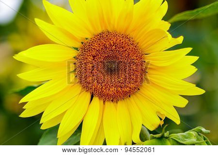 closeup view of a sunflower with focus on centre having dew drops