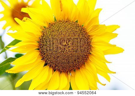 closeup with focus on the center of a sunflower