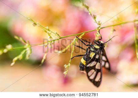 Tiger Grass Borer Moth