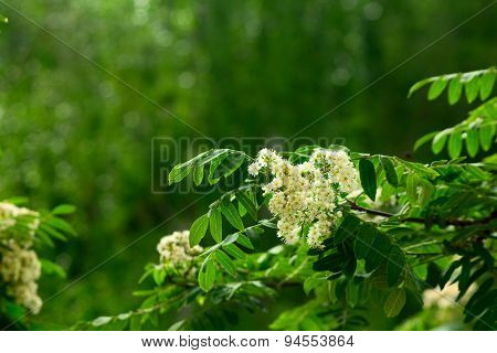 Rowan Flowers On A Green Background