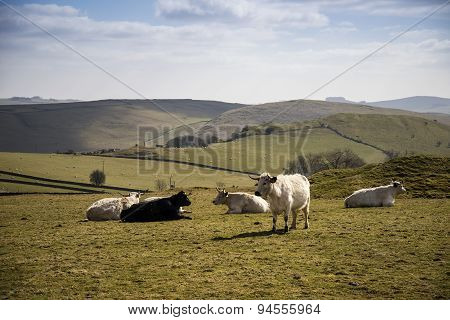 Cattle In Peak District Uk Landscape On Sunny Day