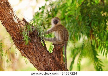 Vervet Monkey, Amboseli