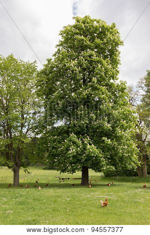 Chestnut Tree And Chicken