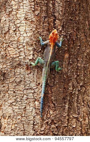 Red Headed Agama Lizard, Amboseli