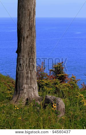 The root and the trunk of an old dried larch against the sea