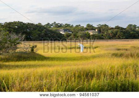 Snow Egret Flying Over Marsh Grass
