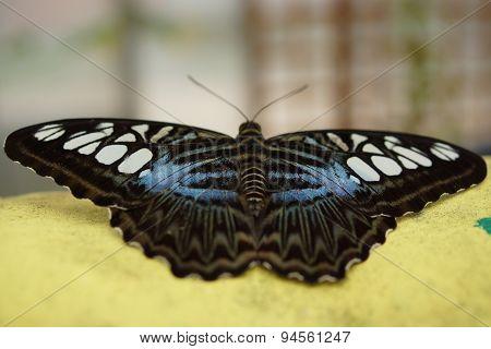 Blue Clipper - Parthenos Sylvia