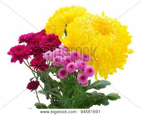 Yellow, red and pink  mum flowers
