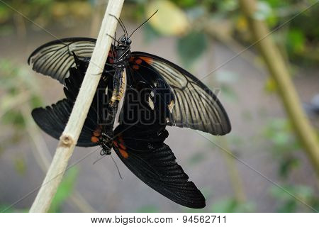 A Mating Pair Of Great Mormon - Papilio Memnon