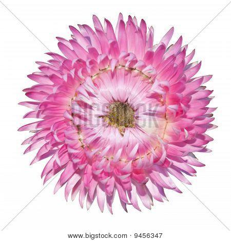 Pink Strawflower, Helichrysum Bracteatum Isolated On White