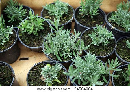 Seedlings lavender in pots for sale