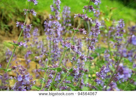 Catnip flowers (Nepeta )