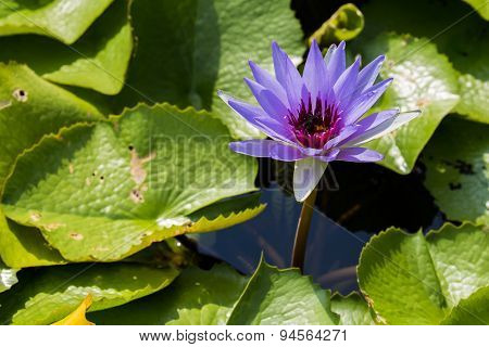 Purple Water Lily With Big Leafs