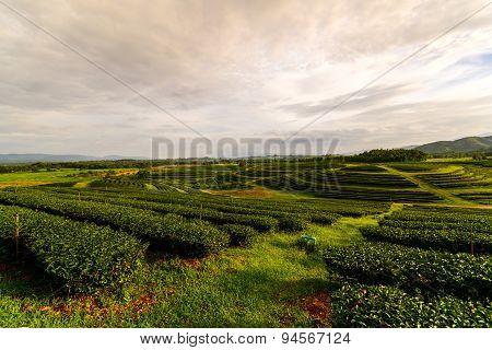 Tea Plantation Landscape With Sunrise