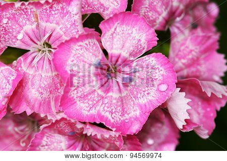 Dianthus barbatus mini carnations