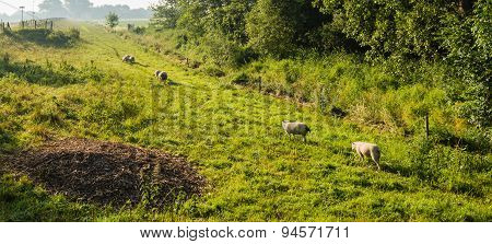 Sheep In Early Morning Light