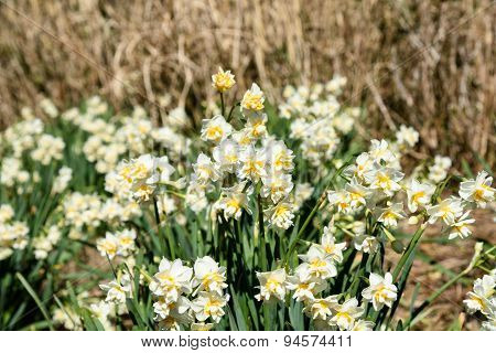 White Double Daffodil.