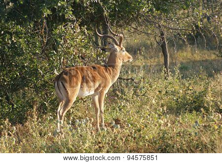 Antelope In Botswana