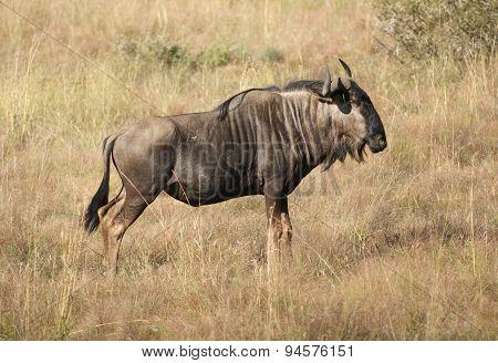 Wildebeest In Botswana