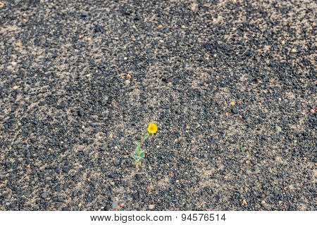 Lonely yellow flower in the black desert in spring time