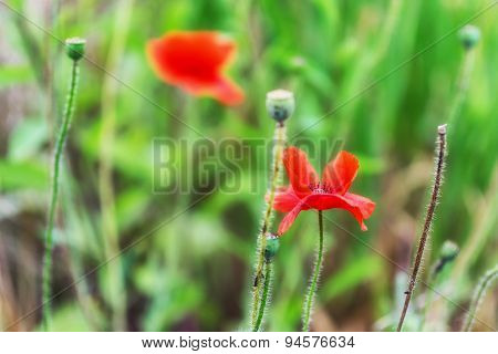 Poppy Flower Blossoming