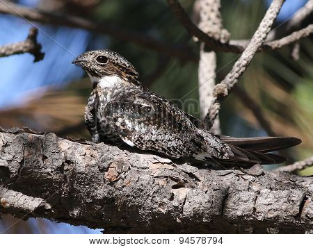 Common Nighthawk in Sunlight