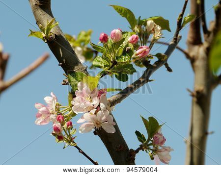 A flowering Prunus during springtime